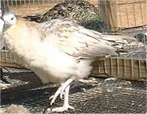 blackshoulder hen