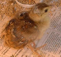 Two day old India Blue peachick