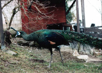 Burmese Green cock