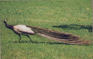 Mature Opal peacock